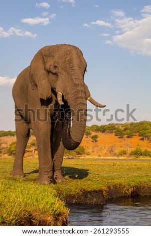 African elephant, Loxodonta  africana, Chobe National Park, Botswana - stock photo