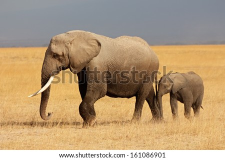 African elephant (Loxodonta africana) cow with young calf, Amboseli National Park, Kenya  - stock photo