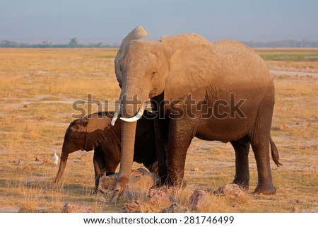 African elephant (Loxodonta africana) cow with young calf, Amboseli National Park, Kenya - stock photo