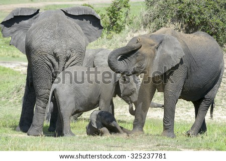 African Elephant (Loxodonta africana) family standing together with a small baby lying in between at a waterhole and throwing mud in the air, Serengeti national park, Tanzania. - stock photo