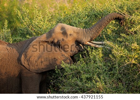 African elephant (Loxodonta africana) feeding on a tree, Kruger National Park, South Africa