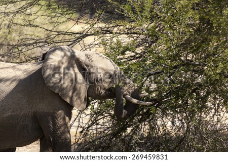 African elephant (Loxodonta Africana) feeding time  Tanzania - stock photo