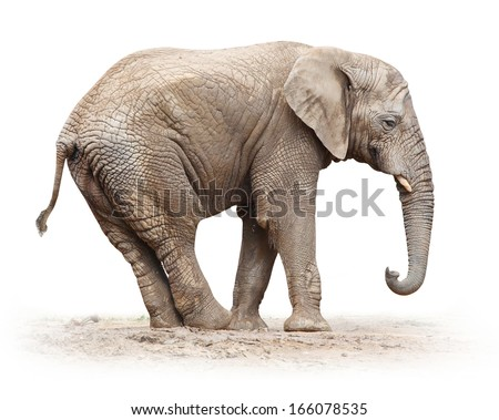 African elephant (Loxodonta africana) female on a white background.