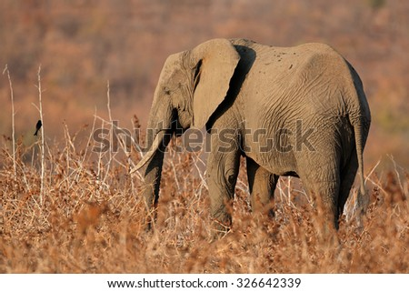 African elephant (Loxodonta africana) in natural habitat, Kruger National Park, South Africa - stock photo