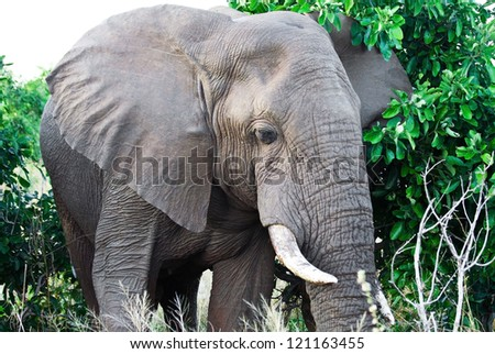 African elephant (Loxodonta Africana) in the Kruger National Park, South Africa. The African elephant is the largest living terrestrial animal.