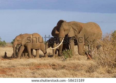 African elephant (Loxodonta africana) in Tsavo national park, Kenya, under the evening sun.