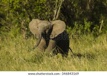 African Elephant, Loxodonta africana, Lower Mara Triangle, Masai Mara Game Reserve Kenya - stock photo