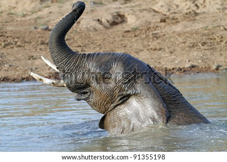 African elephant (Loxodonta Africana) playing in water
