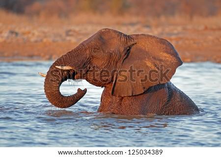 African elephant (Loxodonta africana) playing in water, Etosha National Park, Namibia - stock photo