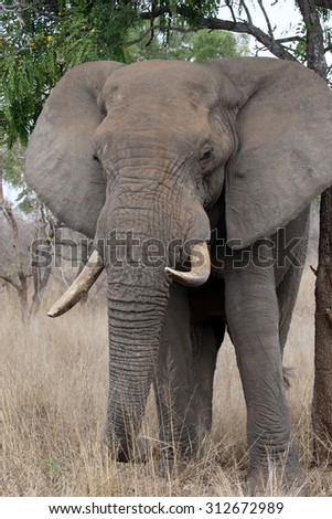 African elephant, Loxodonta africana, single mammal in bush, South Africa, August 2015