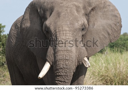 African Elephant, Loxodonta africana, South Africa