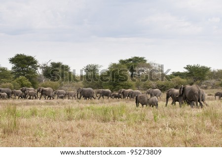 African Elephant, Loxodonta africana, South Africa - stock photo