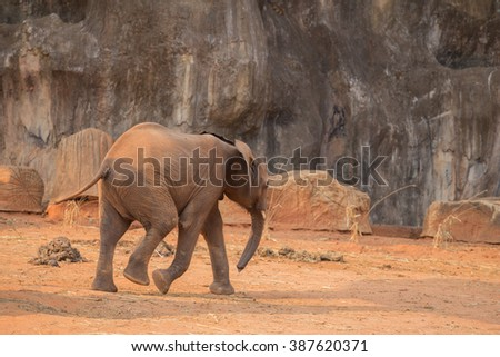 African Elephant (Loxodonta africana) walking on the ground