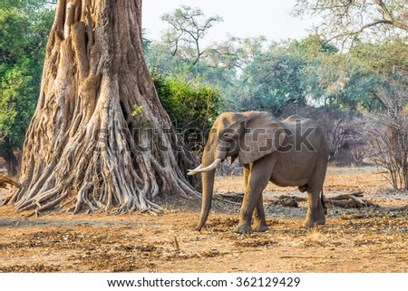 African Elephant (Loxodonta), in Mana Pools, Zimbabwe, caught by the rays of the rising sun.