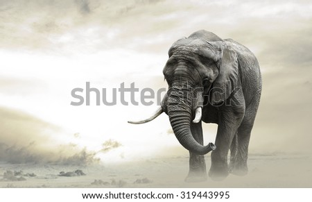 African elephant male walking alone in desert at sunset - stock photo