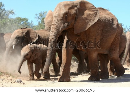 African elephant mother and baby moving with the herd - stock photo