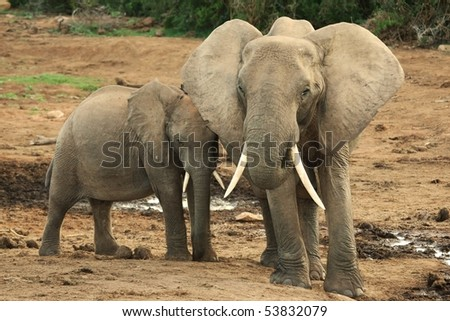 African elephant mother with youngster at her side - stock photo