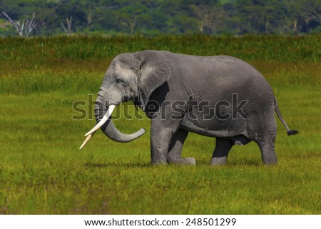 African Elephant  Ngnorongoro Crater Tanzania  - stock photo