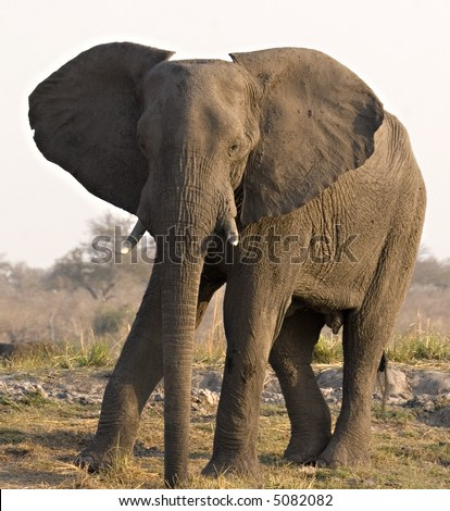 African Elephant on Chobe Riverbank (Botswana) - stock photo