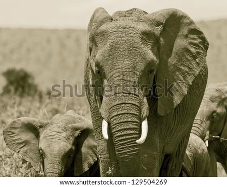 African elephant on the Masai Mara National Reserve - Kenya (stylized retro) - stock photo