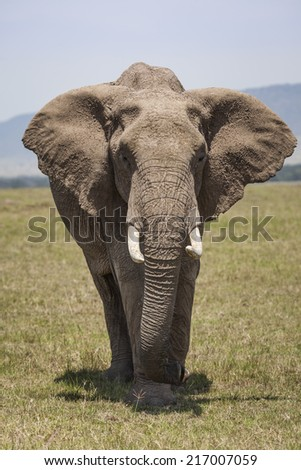 African Elephant on the plains in the Maasai Mara National Reserve, Kenya, East Africa - stock photo