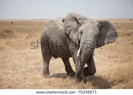 African Elephant on the Serengeti in Tanzania - stock photo