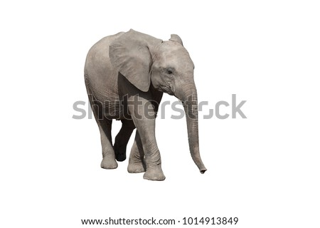 African elephant on the white background