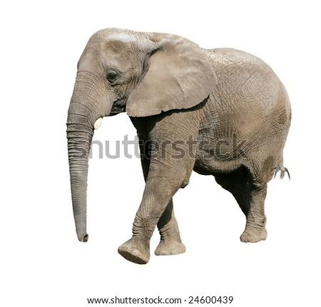 african elephant on white background - stock photo