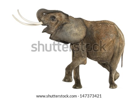 African Elephant performing, isolated on white