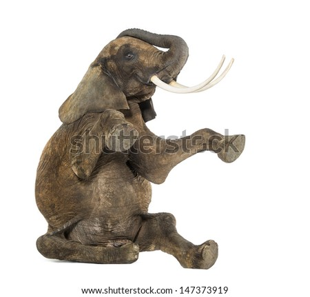 African elephant performing, seated on the floor, trunk up, isolated on white - stock photo