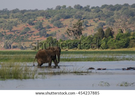 African elephant playing in water, Botswana
