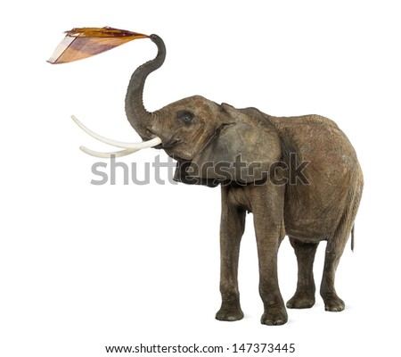 African elephant playing with a tissue, isolated on white