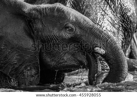 African elephant playing with river water, Africa