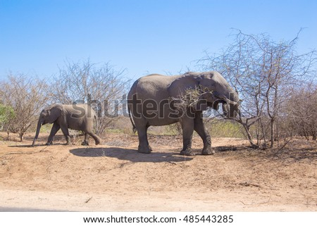 african elephant power plant acacia kruger national park south africa