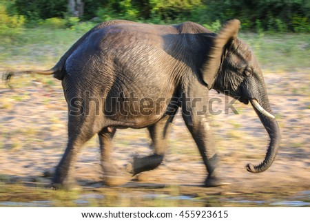 African elephant running next to river with motion blur, Africa - stock photo