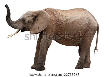 African elephant scenting the air - isolated - stock photo