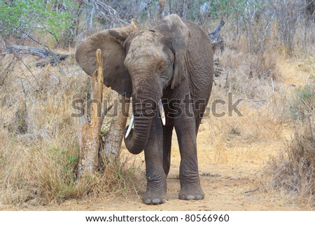 African Elephant scratches against a post
