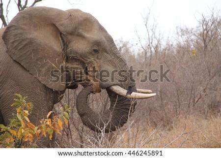 African elephant side shot while feeding. - stock photo
