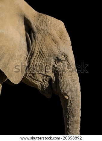 African elephant side view isolated on black