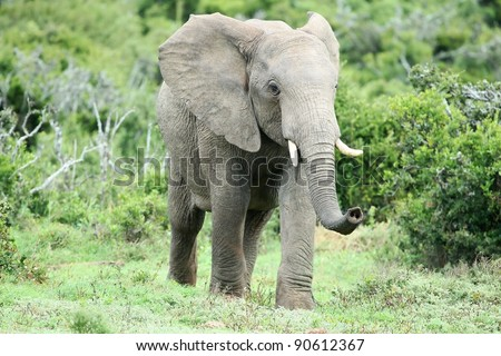 African Elephant Smelling - stock photo