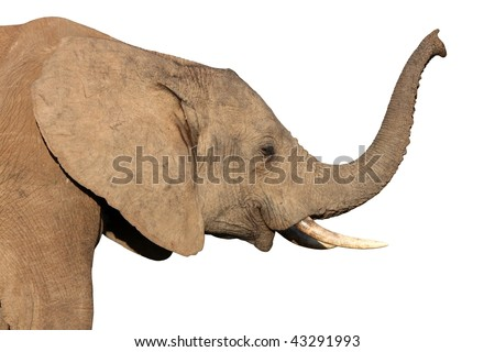 African elephant smelling the air with it's raised trunk - stock photo