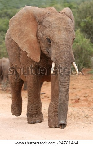 African elephant smelling with it's trunk while walking - stock photo