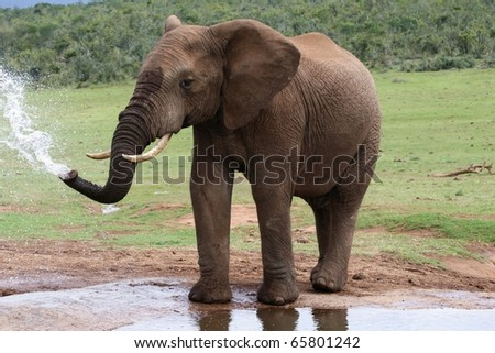 African elephant spraying at a water hole - stock photo