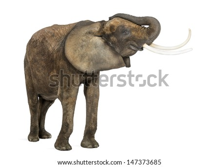 African elephant, standing, trunk up, isolated on white
