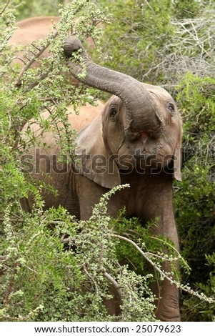 African elephant stretching to pull leaves off a tree with it's trunk