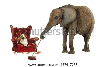 African elephant sweeping after a dog messed up an armchair, isolated on white - stock photo
