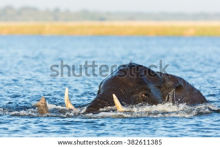 African elephant swimming in the river in Khwai Reserve in Botswana