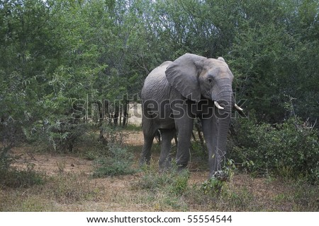 African Elephant taking a walk in a Nature reserve that is as large as the country of Israel. - stock photo