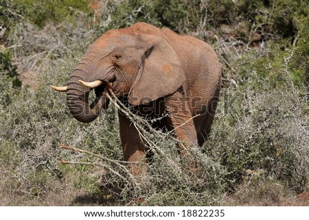 African elephant tearing up and eating thorn trees - stock photo