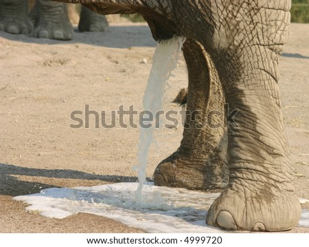 african elephant urinating - stock photo